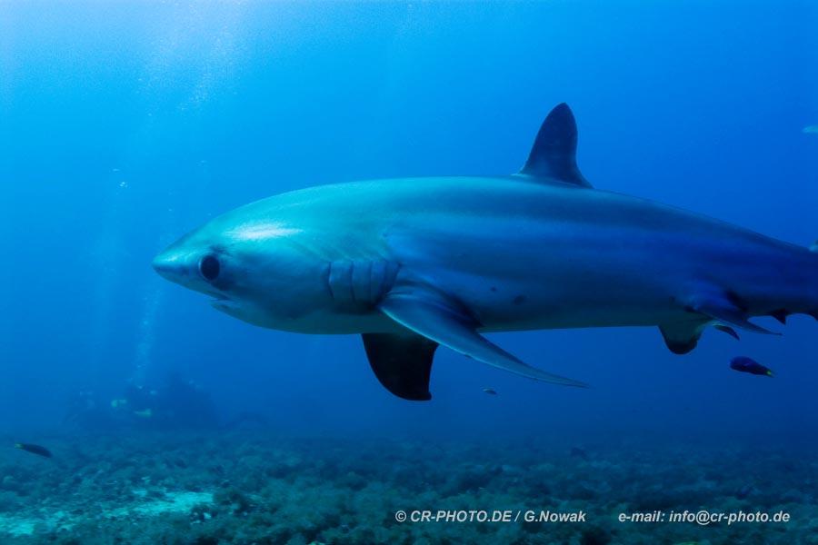 Fuchshaie vor Malapscua Island / Philippinen