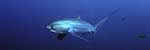 Click to see Gallery TRESHER SHARKS