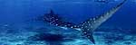 Click to see Gallery WHALESHARKS